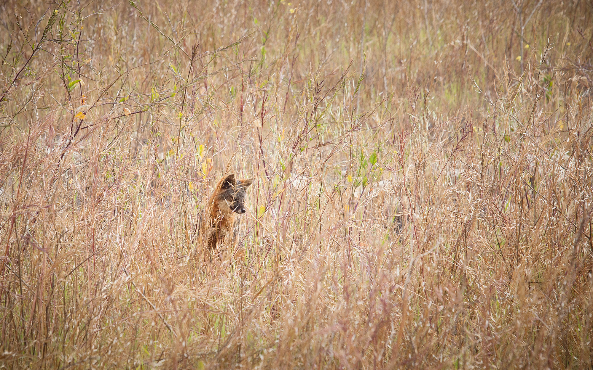 Island Foxes in California's Channel Islands National Park