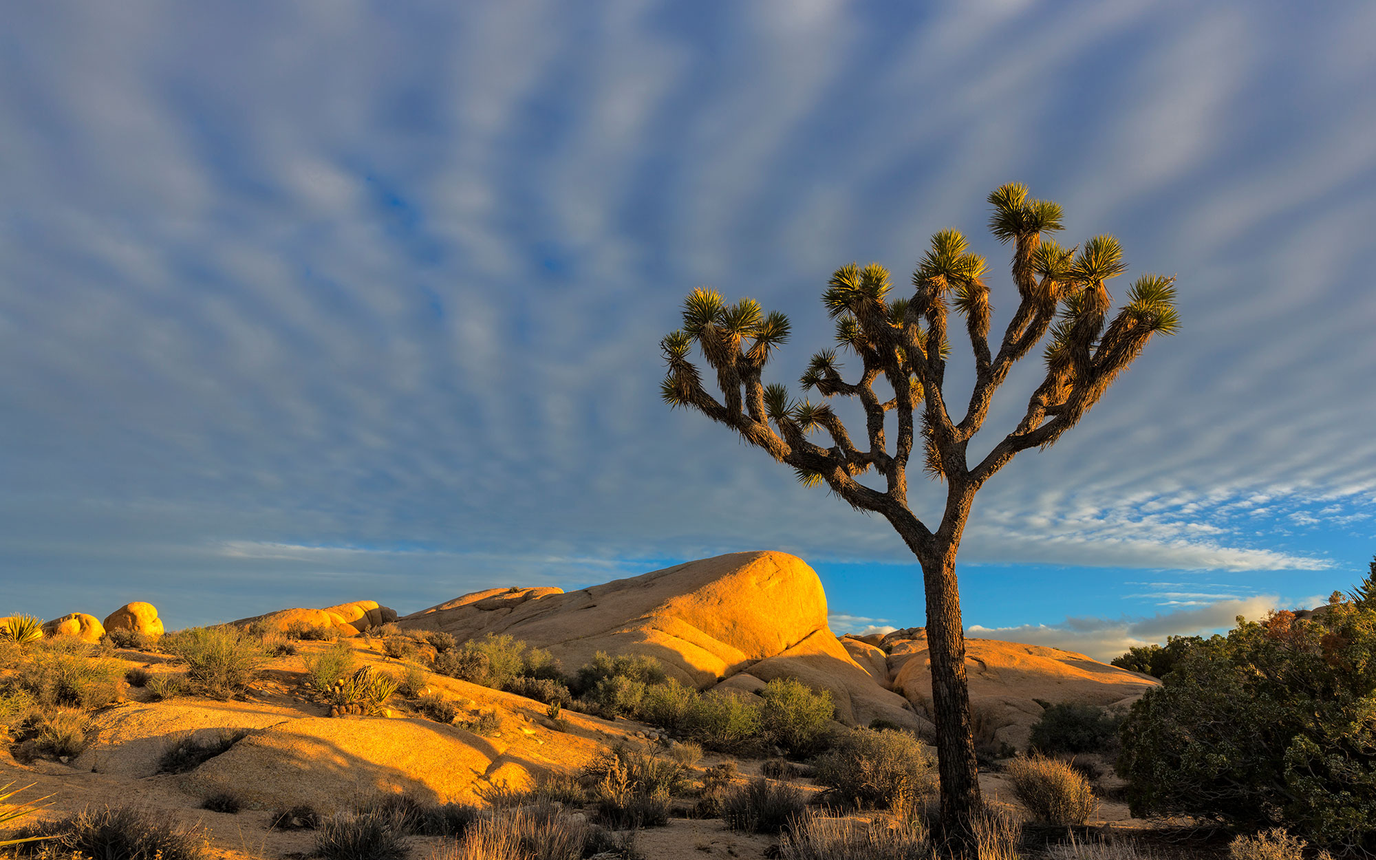 Joshua Trees (Yucca brevifolia) in sunset light in Joshua Tree National Park, California, USA