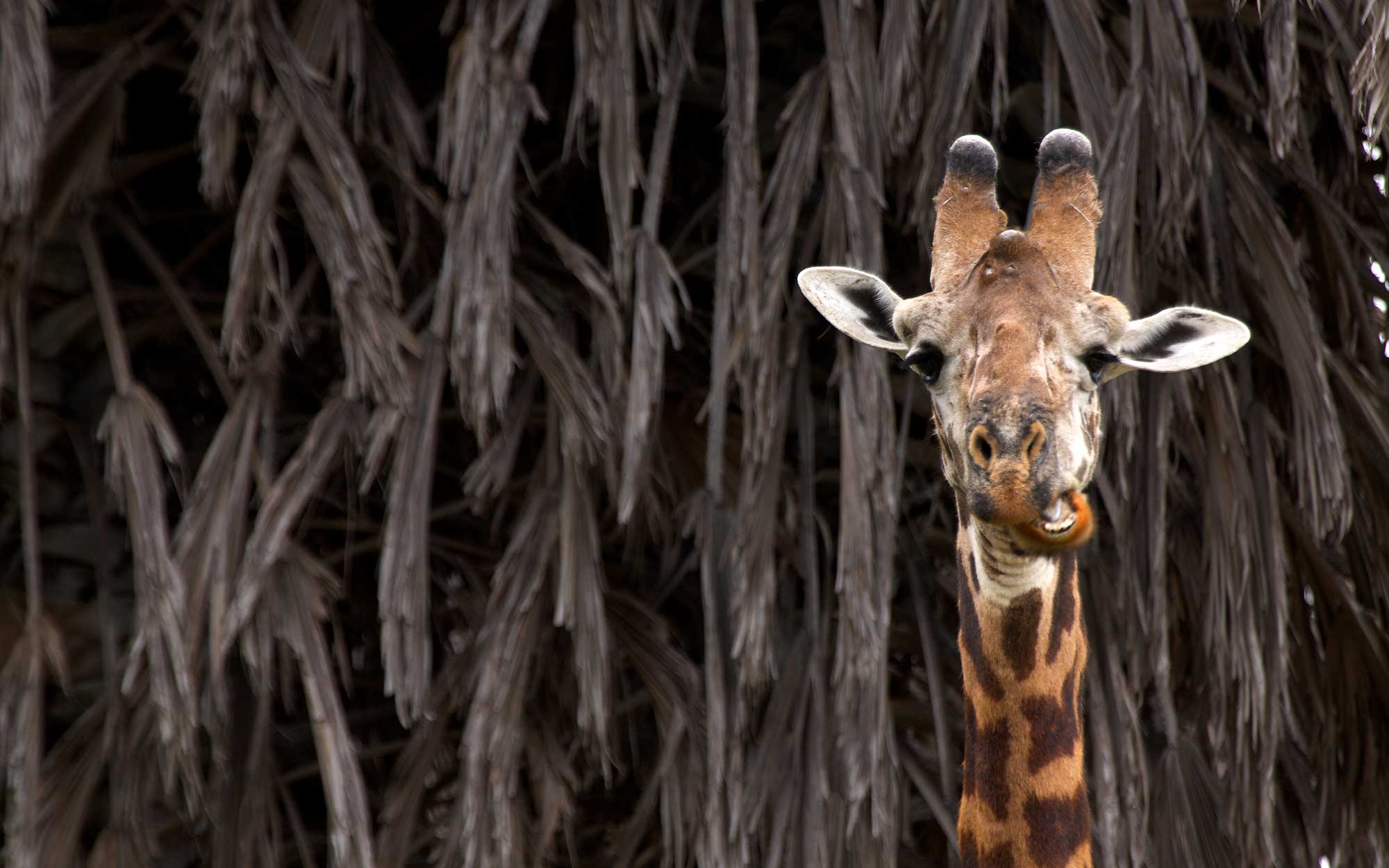 Giraffe feedings in Kenya