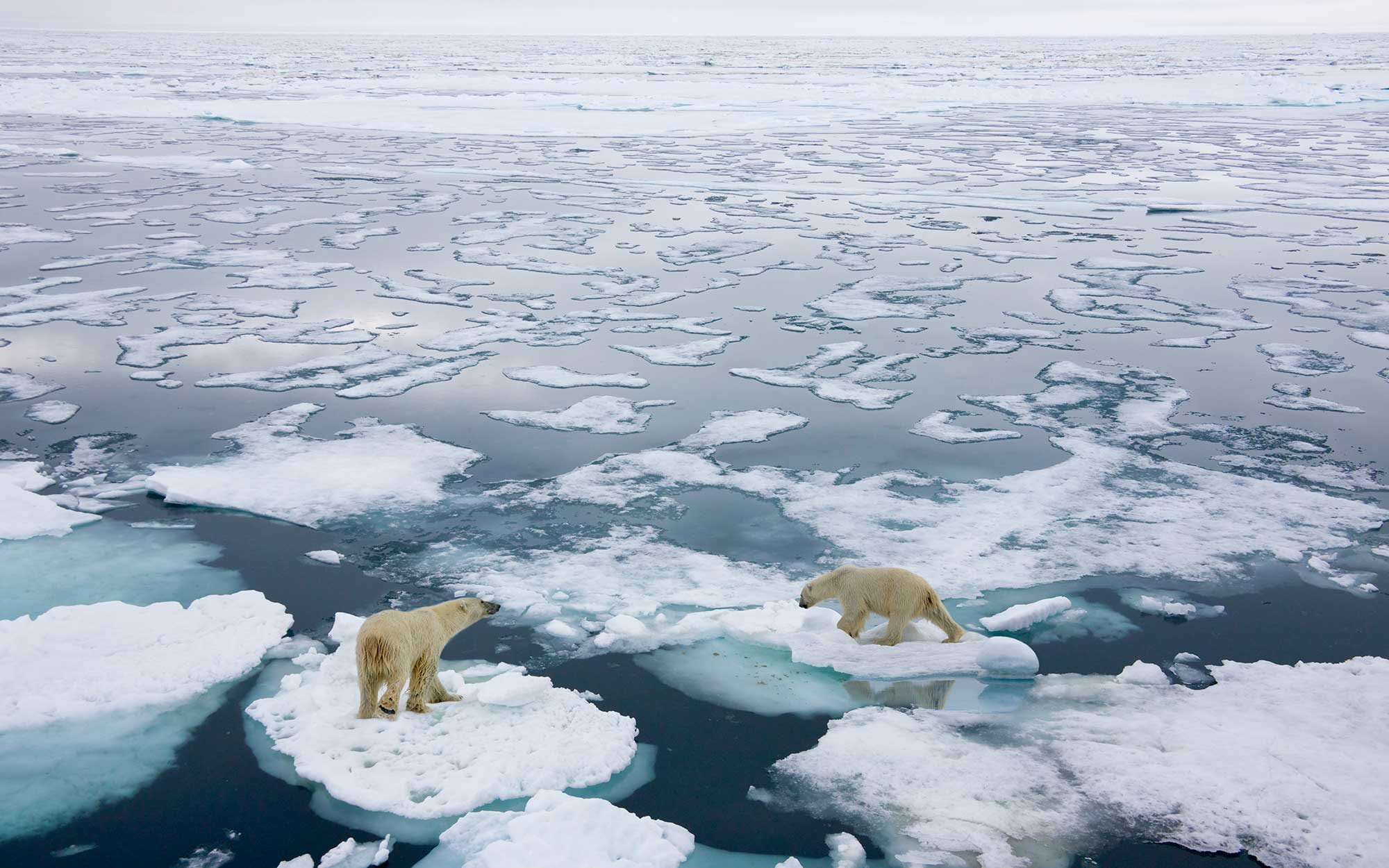 polar bears in norway
