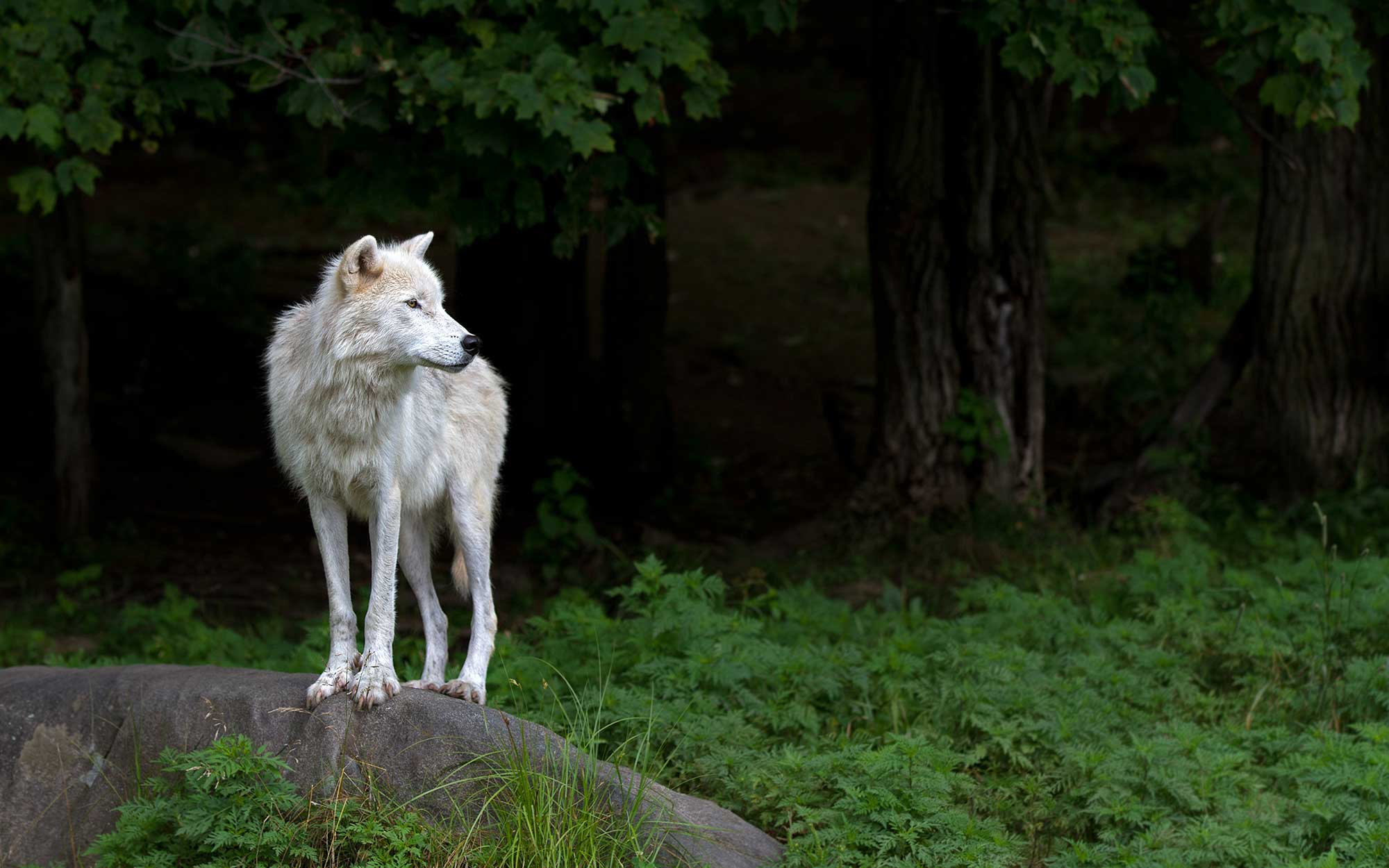 wolf in quebec