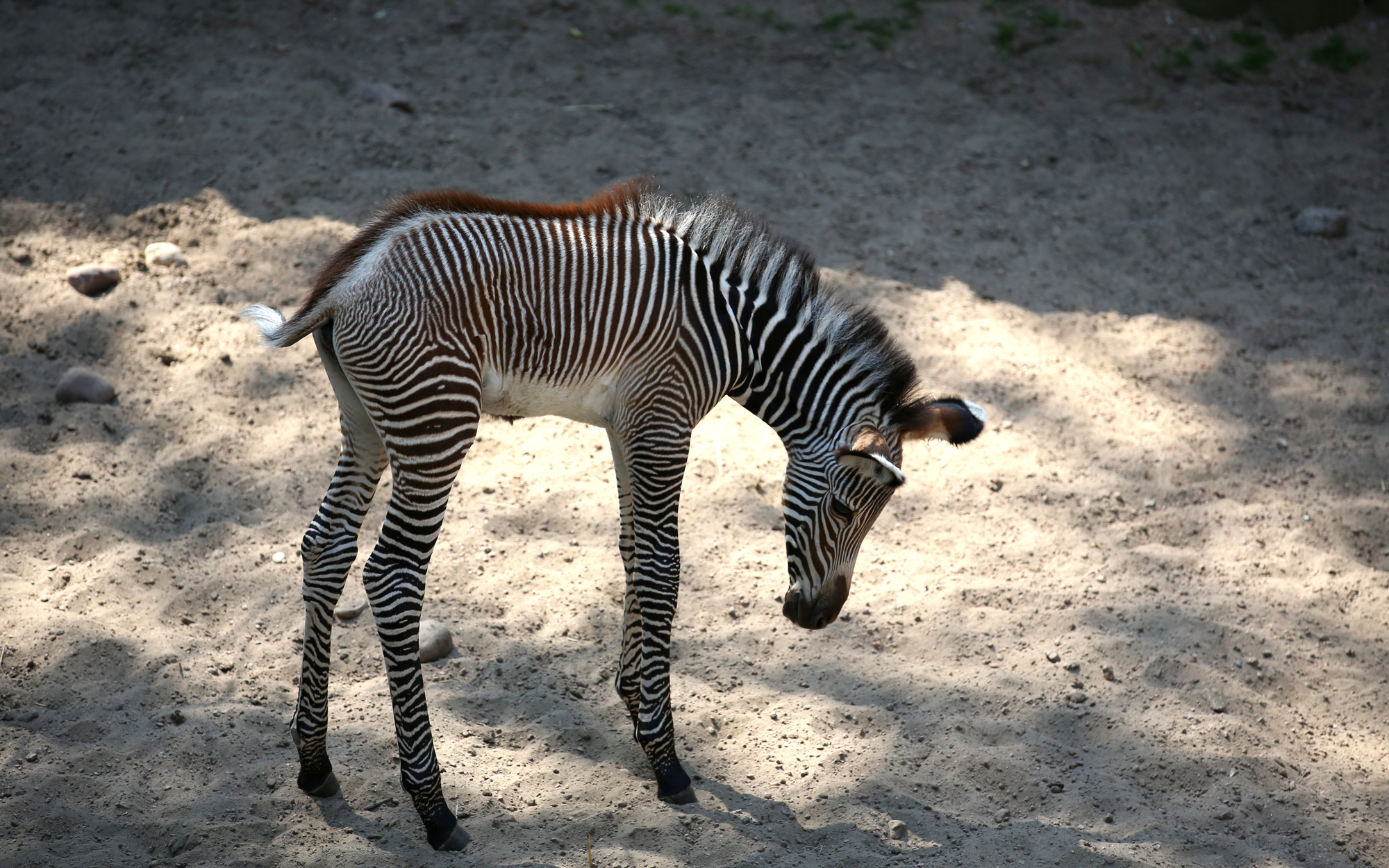 A Baby Zebra at the Lincoln Park Zoo