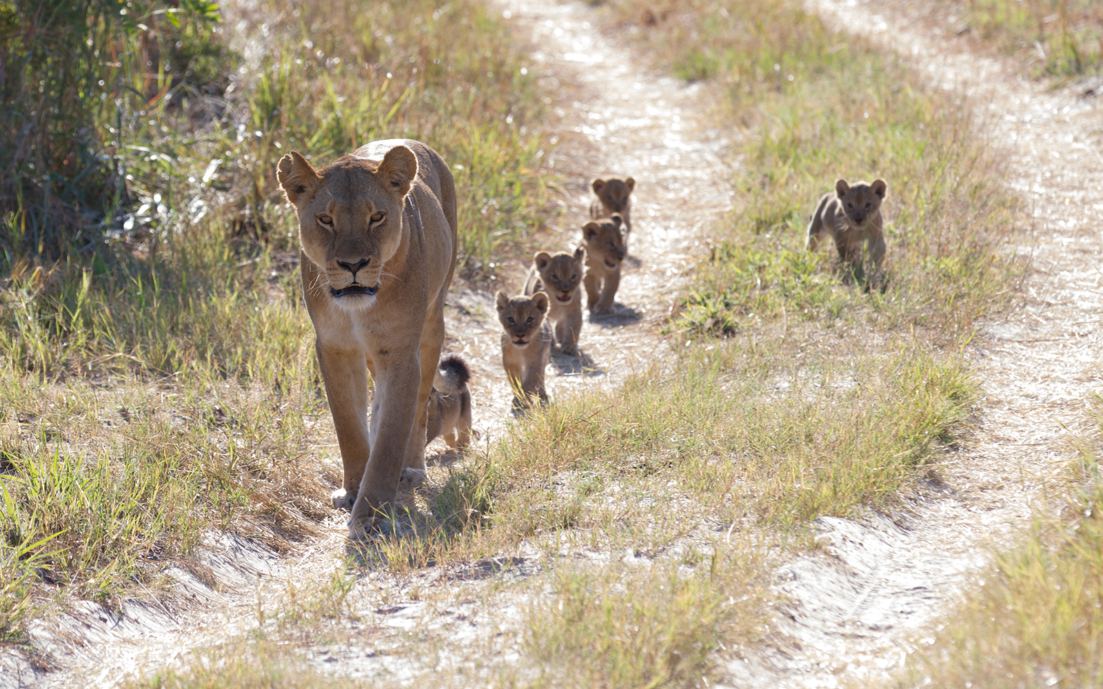 Cecil the Lion Grand-Cubs