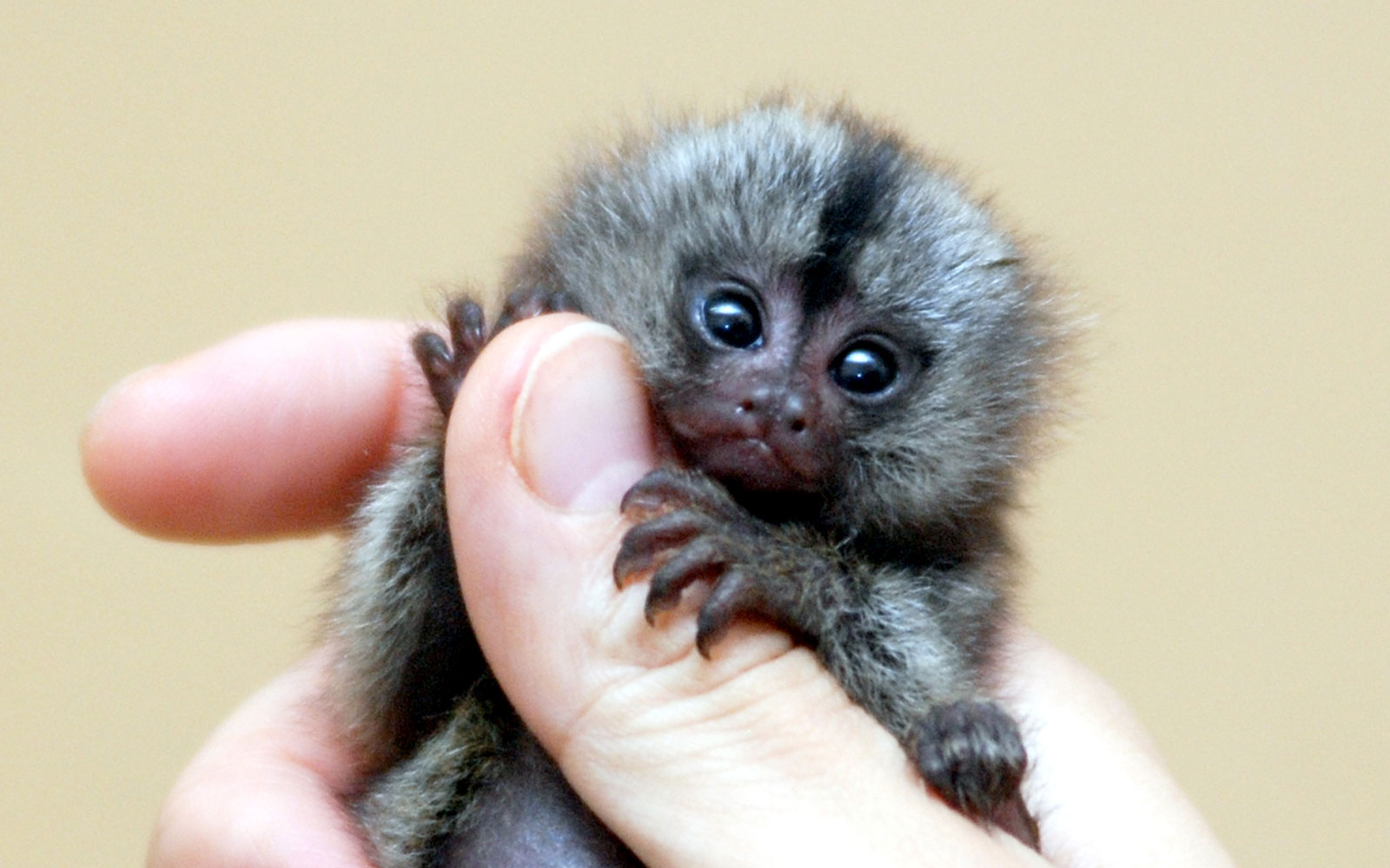 A marmoset on a person's hand.