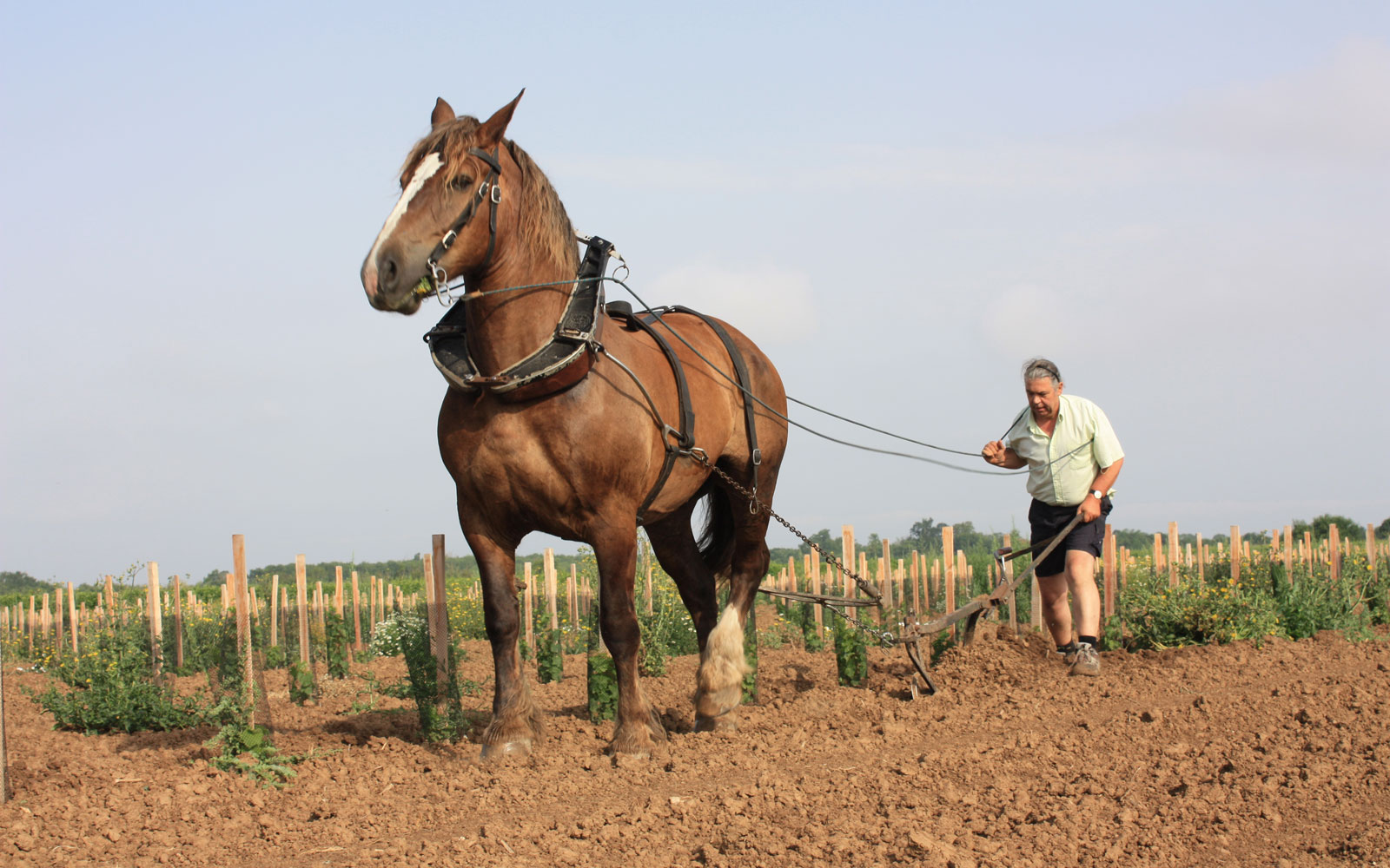 Chevalier with horse-drawn plough