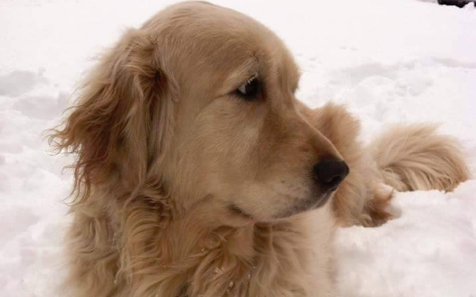 Kathleen Considine's golden retriever, Jacob, who died after a United Airlines flight