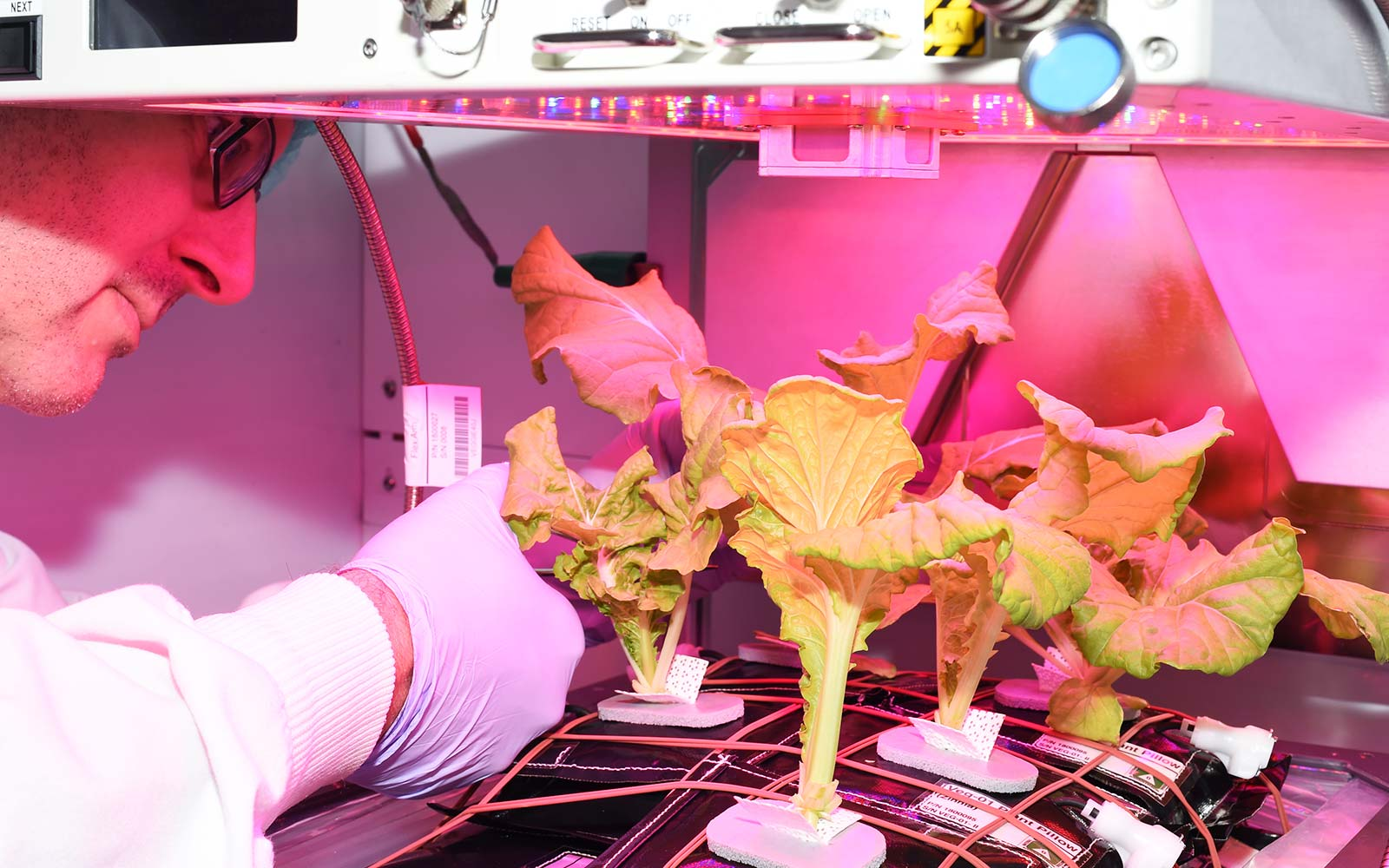 Chinese Cabbage in Space