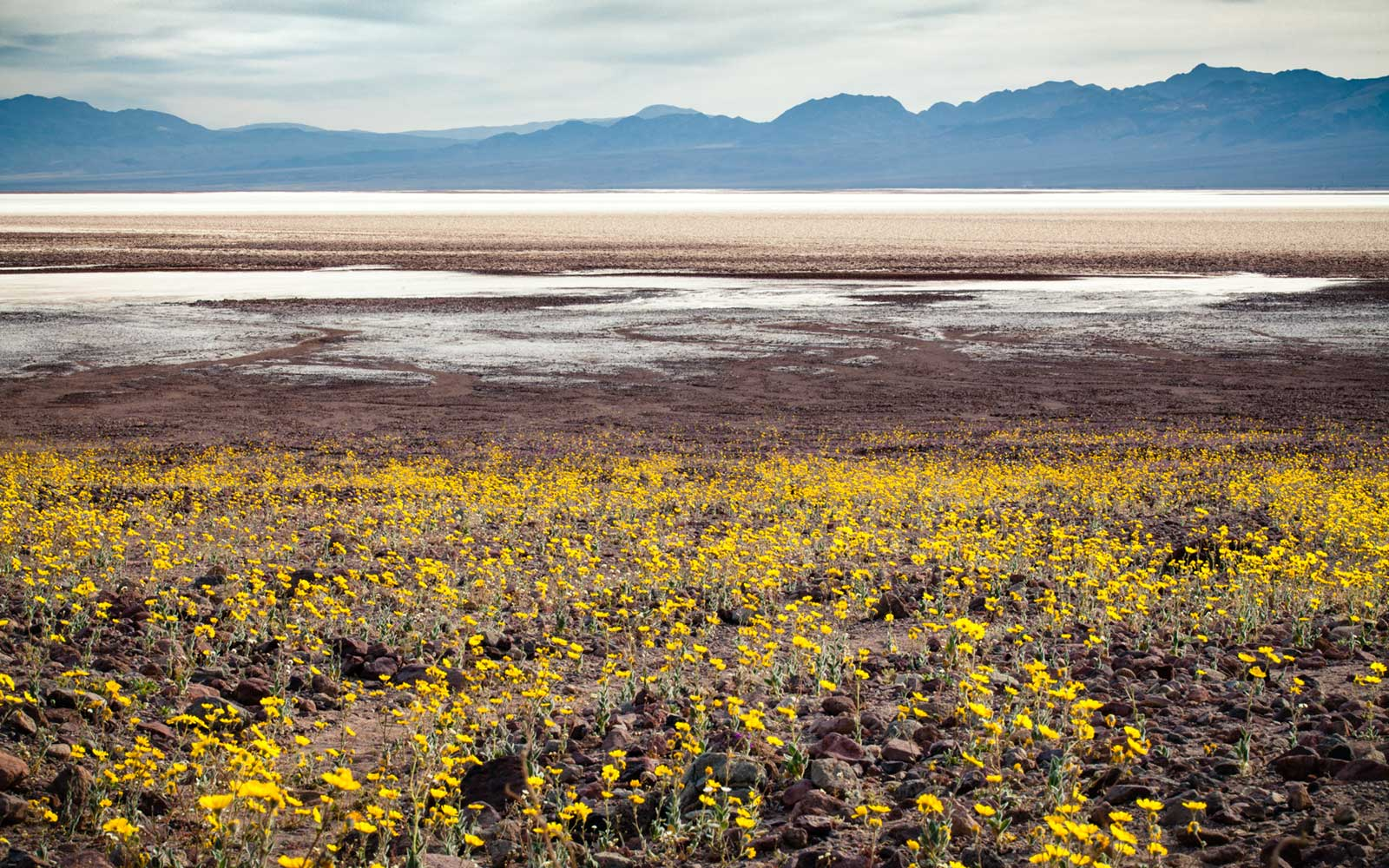 Wildflowers, Badwater Basin, Super Bloom, Spring 2016, Death Valley National Park