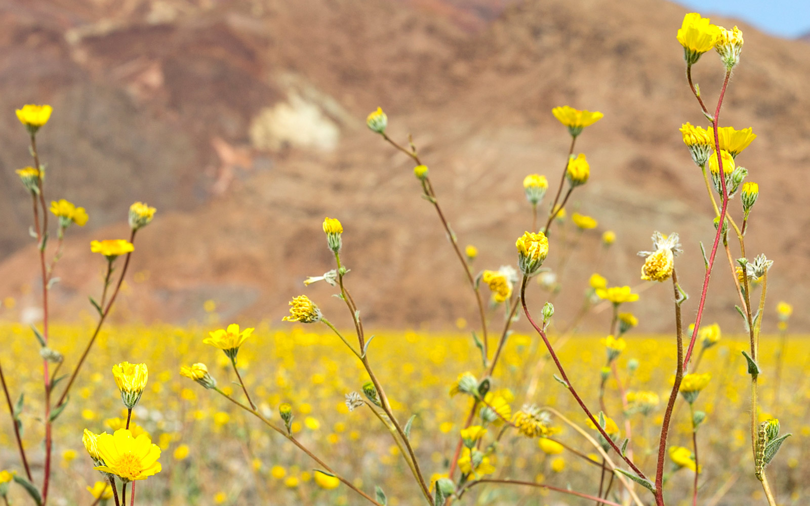 Wildflowers, Furnace Creek, Death Valley National Park, Super Bloom, Spring 2016