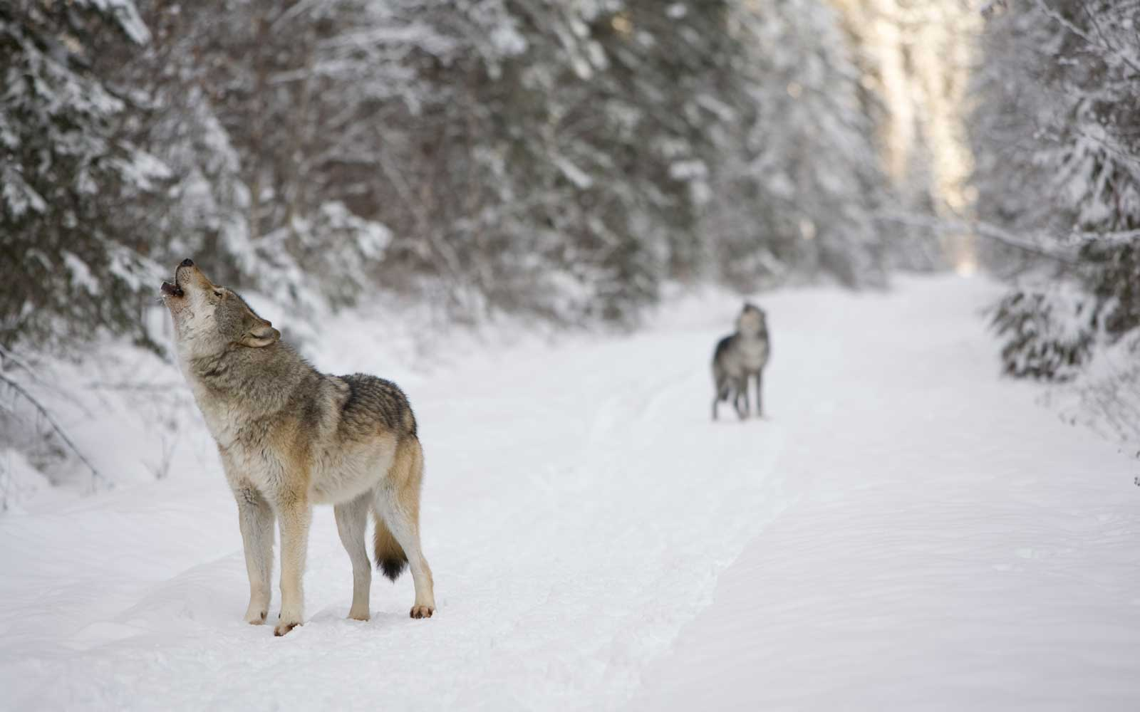 Gray wolves howling. British Columbia, Canada