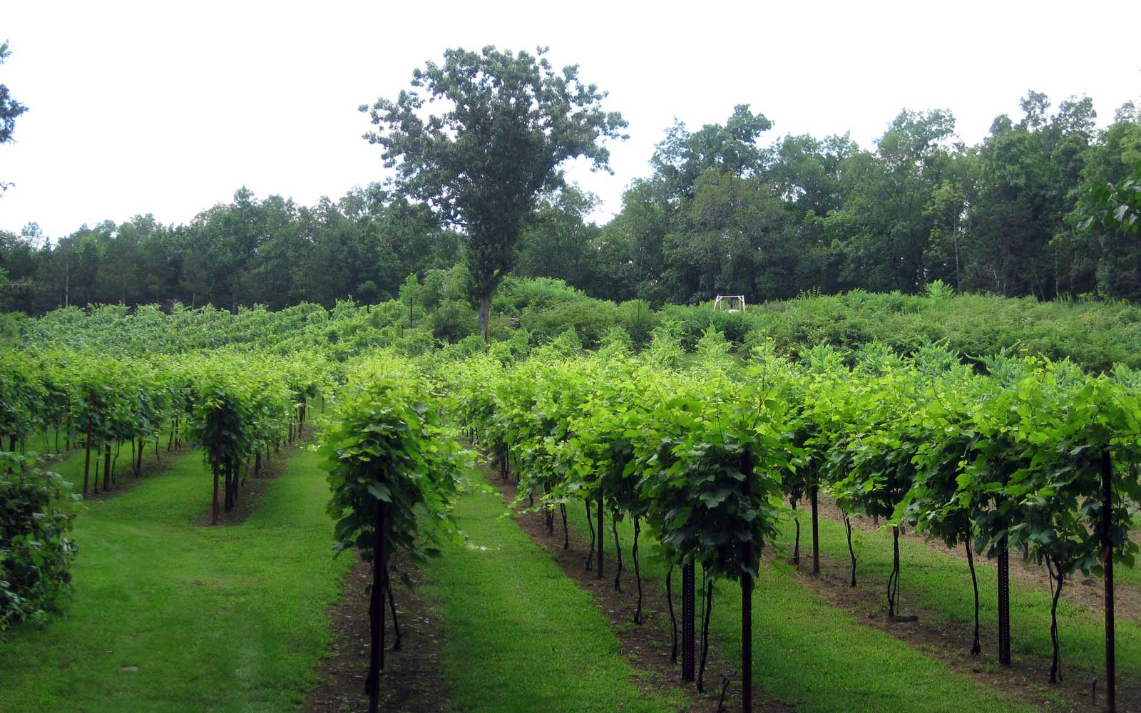 14. Clearview Vineyard
