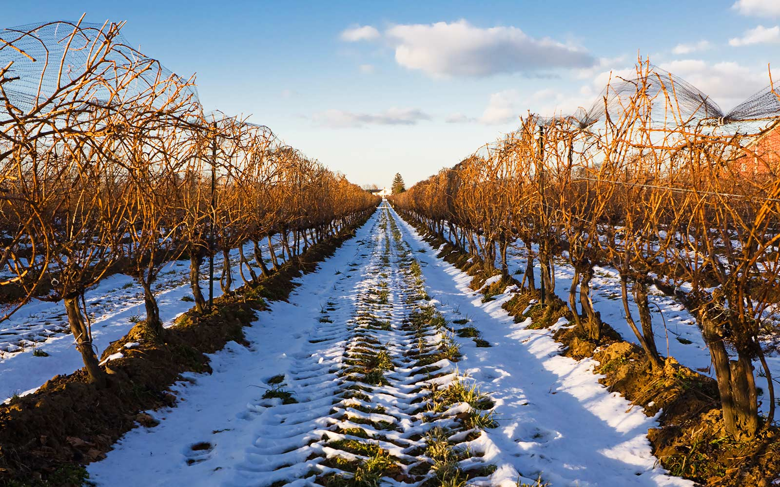 Landscape view of of icewine fields in Niagara-On-The-Lake, Ontario.