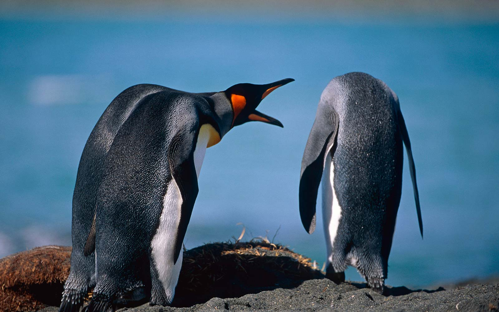 A pair of King Penguins interacting together on a beach, South Georgia Island, Antarctic, Summer