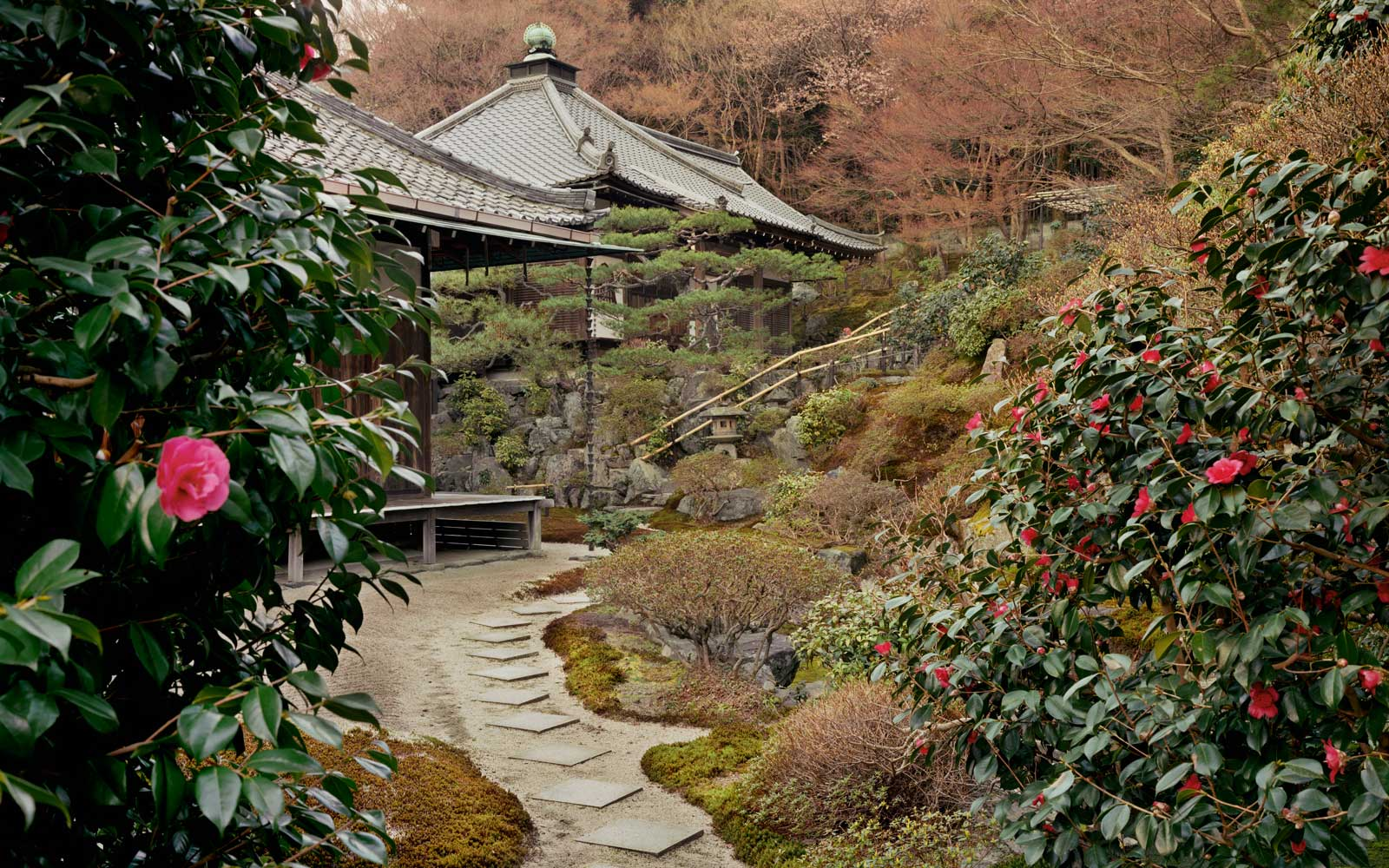 Spring camellia flowers in front of a temple, Reikan-Ji Temple, Kyoto Prefecture, Honshu, Japan