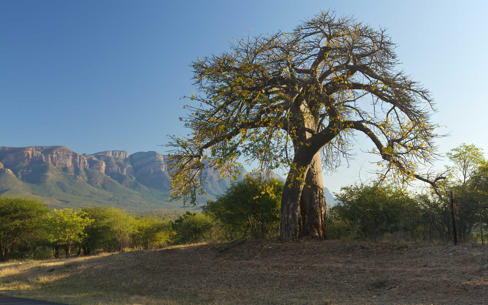 Baobab, Mpumalanga, South Africa