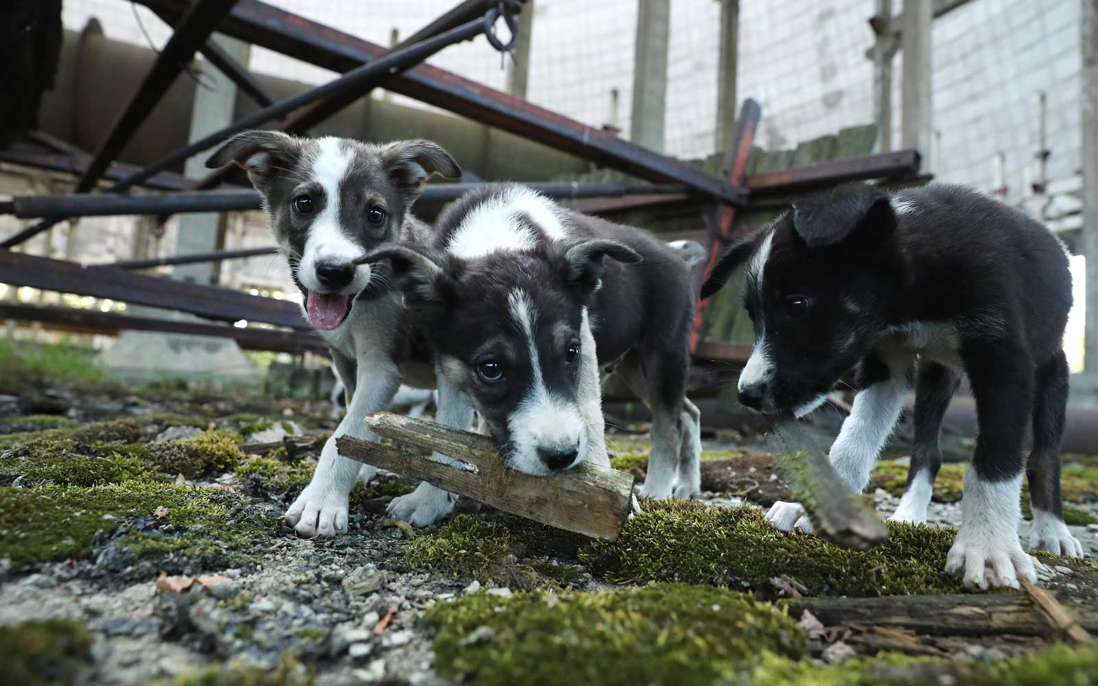 Puppies in Chernobyl