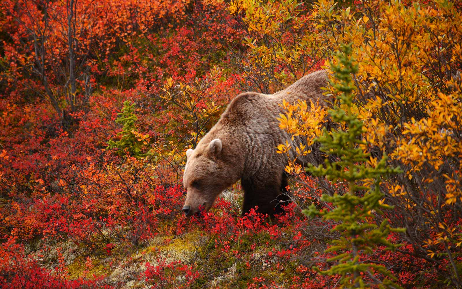 Grizzly bear at Denali National Park with Fall foliage colors