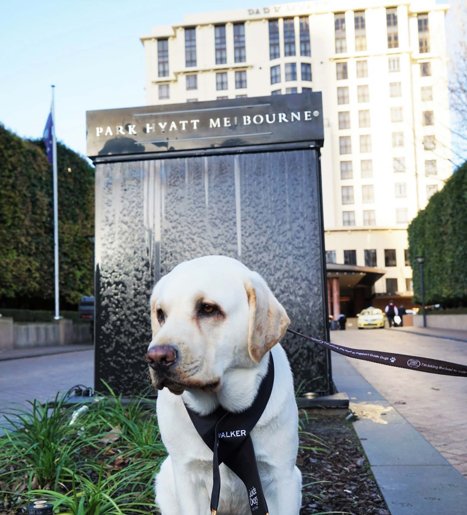 Mr Walker Canine Ambassador Service Dog Park Hyatt Melbourne Hotel Staff