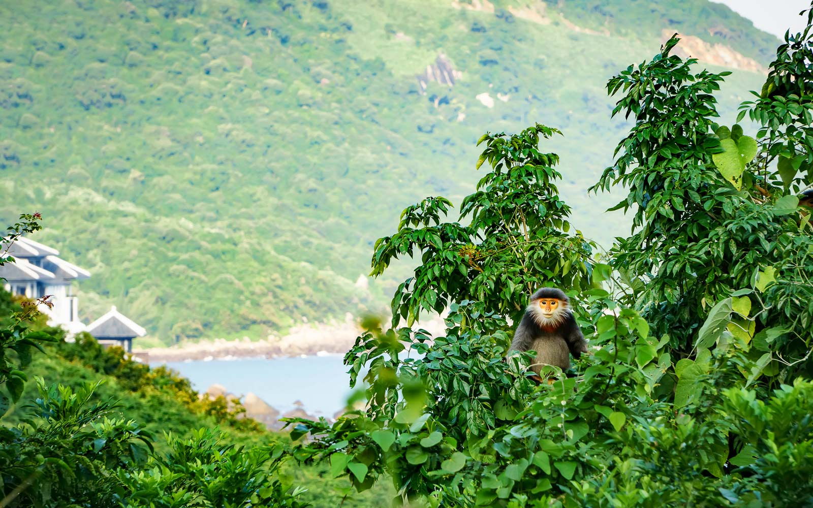 Monkey, Son Tra Nature Reserve, Vietnam