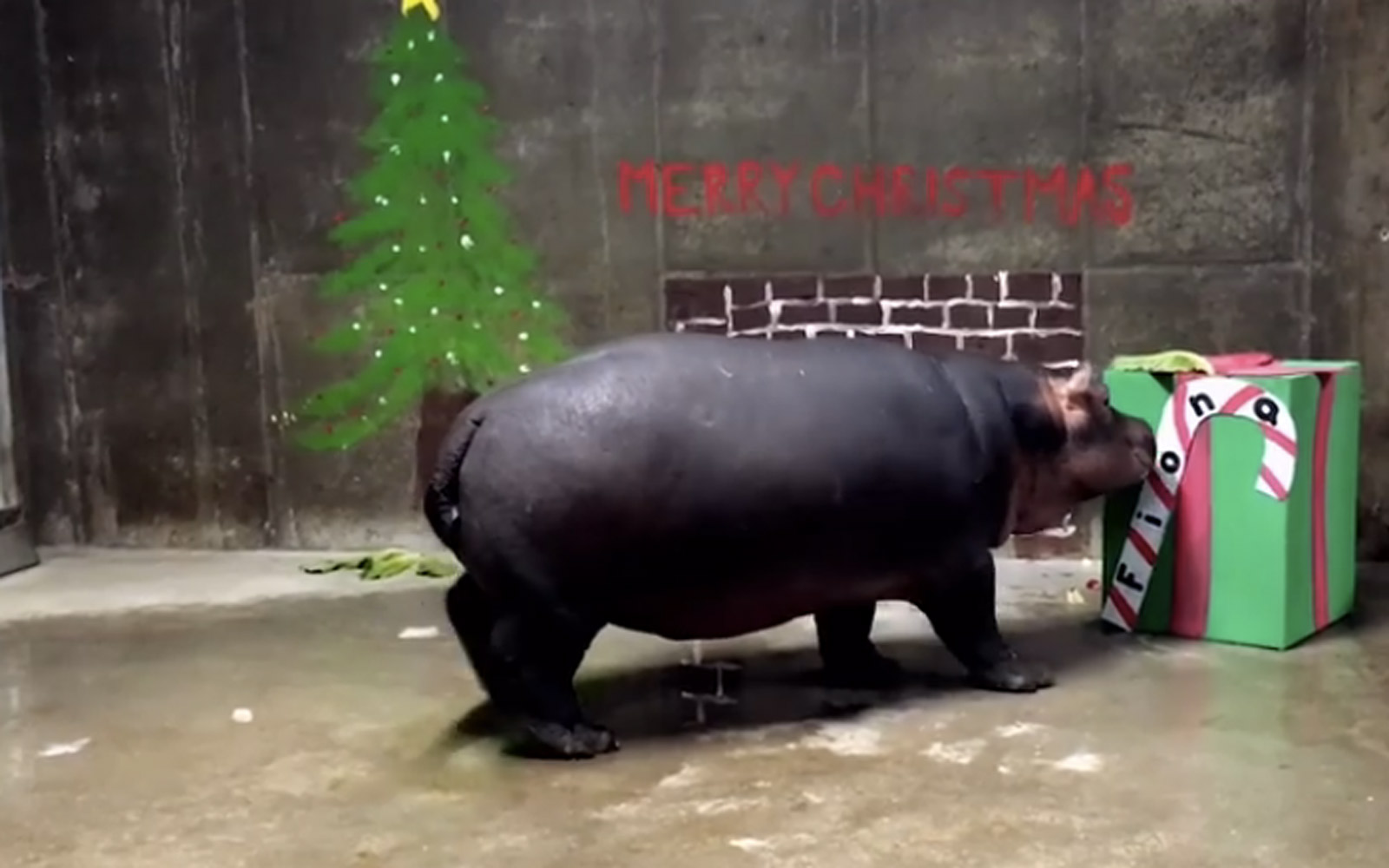 Fiona the Hippo opening up her first Christmas present at the Cincinnati Zoo
