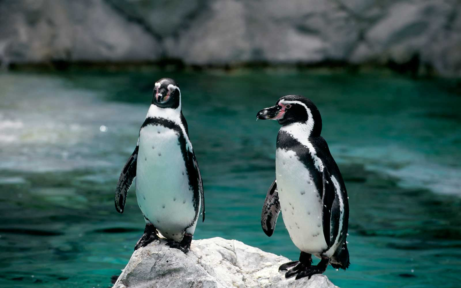 Penguins at a zoo