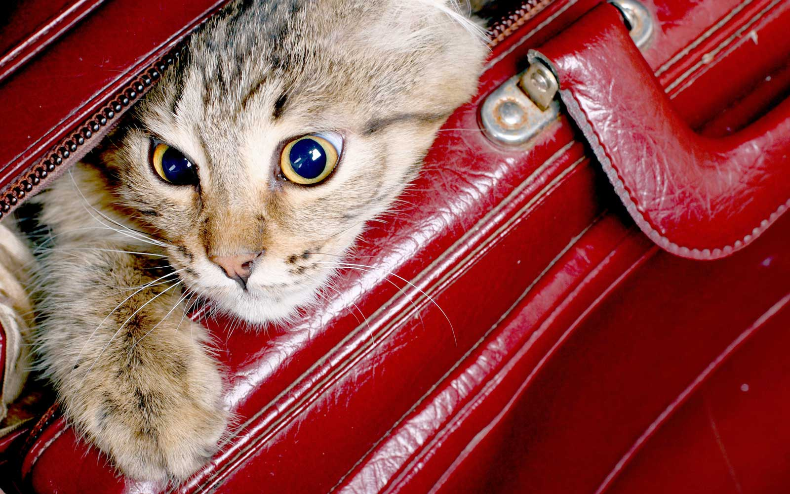 Cat in a luggage suitcase