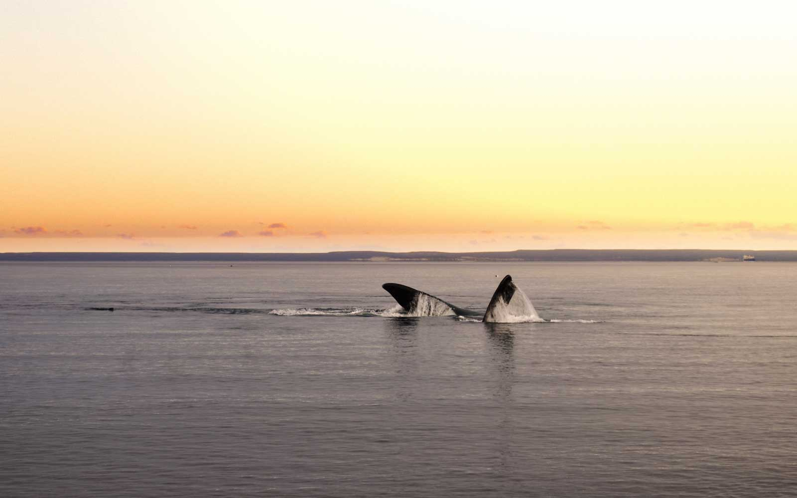 A whale at El Doradillo Beach in Puerto Madryin, Chubut Province, Argentina