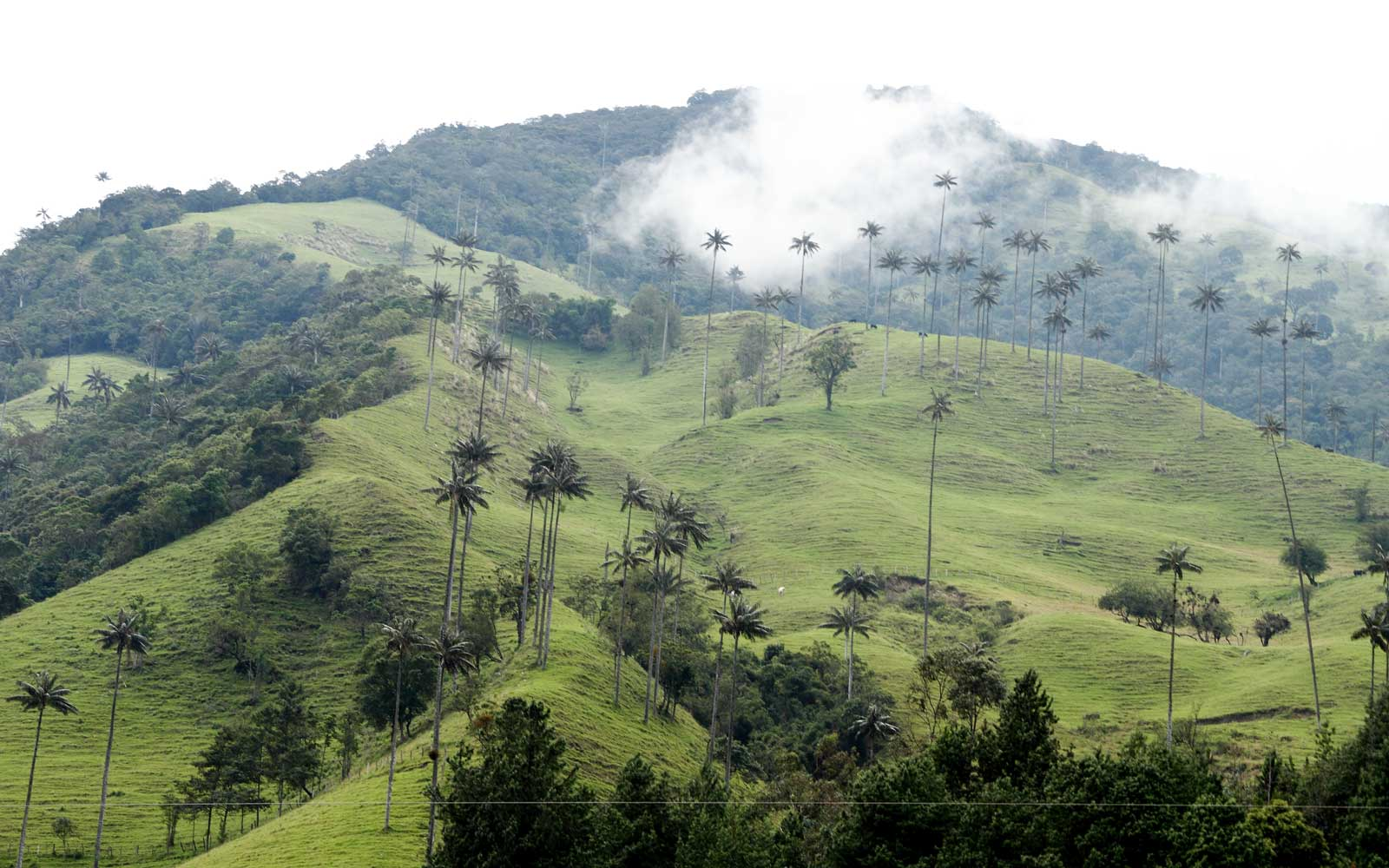 Valle de Cocora, in Los Nevados National Park, Colombia