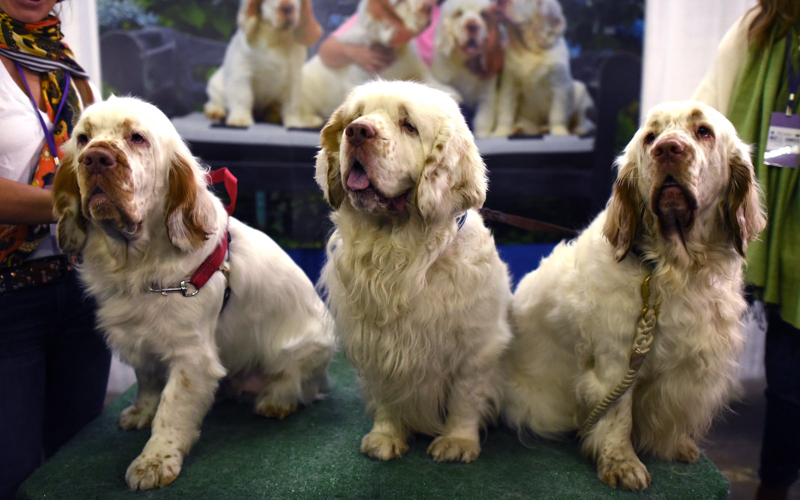 clumber spaniel dogs compete westminster dog show 2018