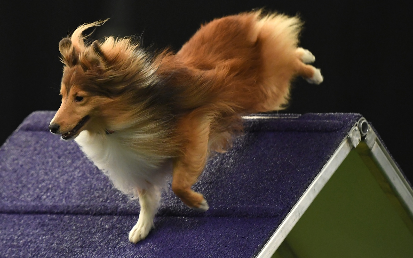 westminster dog show agility obstacle course 2018