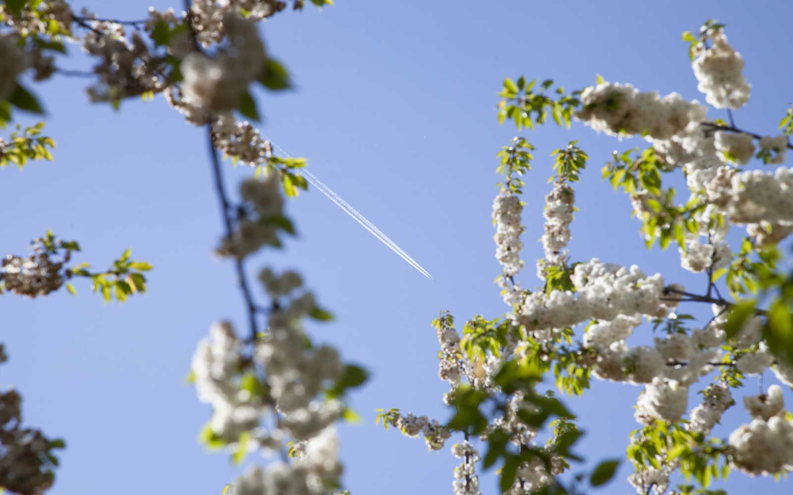 Blooming cherry tree in spring, Lower Saxony, Germany