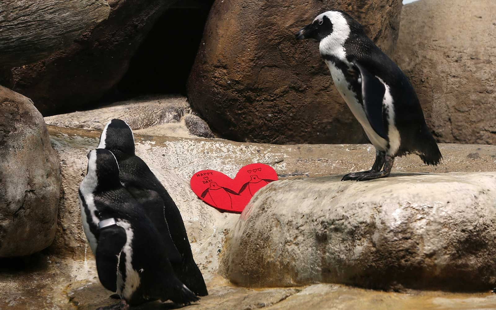 African Penguins walk by a Valentine's Day card at the California Academy of Sciences in San Francisco