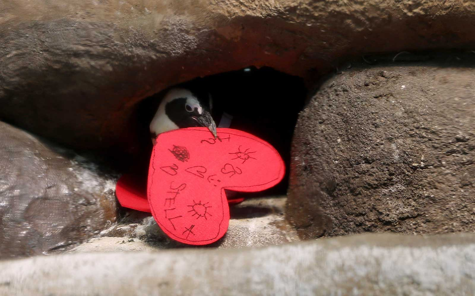 An African Penguin pulls a Valentine's Day card into its nest box at the California Academy of Sciences in San Francisco,