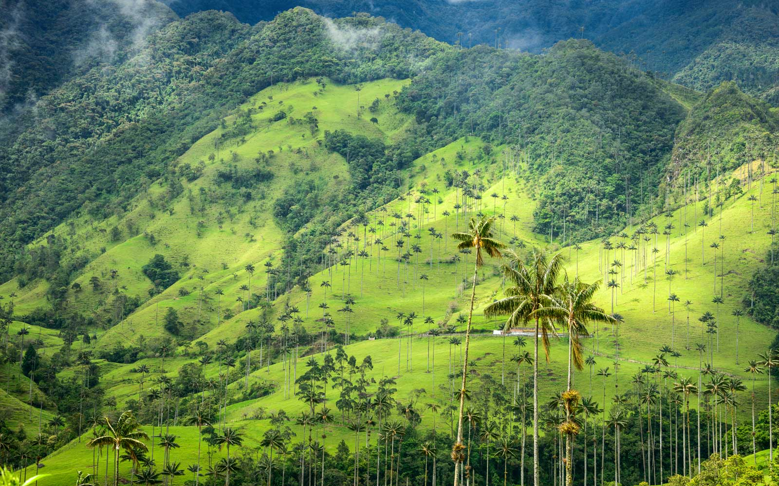 Hills and tall Palm trees in the Cocora Valley near Salento, Colombia