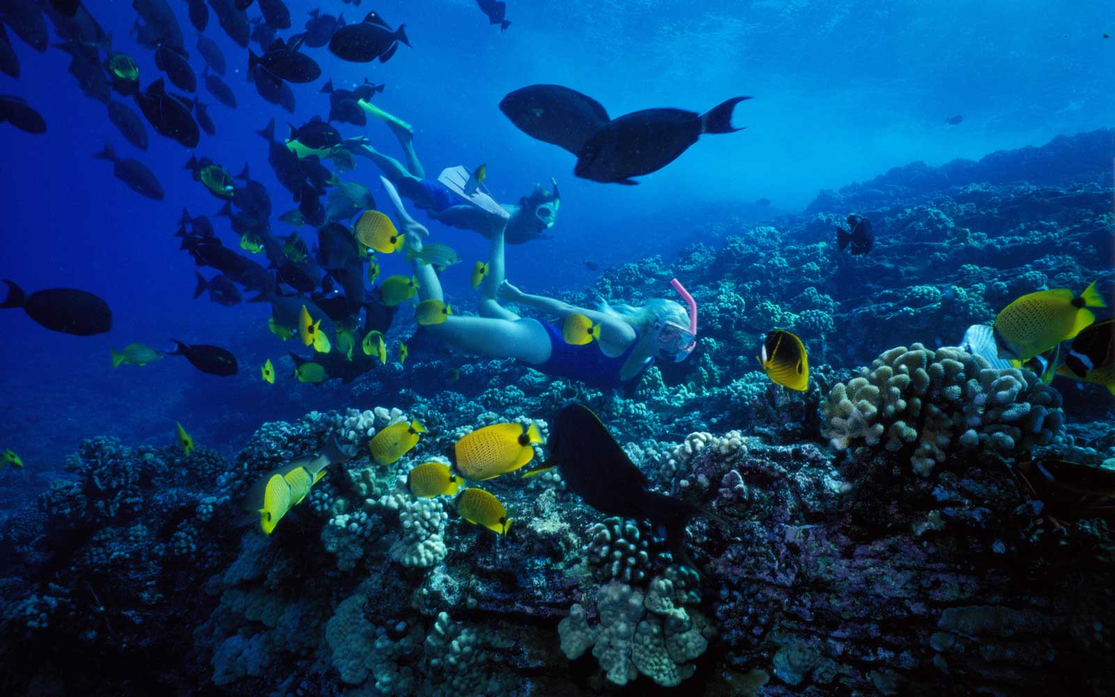 Molokini woman snorkels over reef yellow butterflyfish and triggerfish, Hawaii Maui
