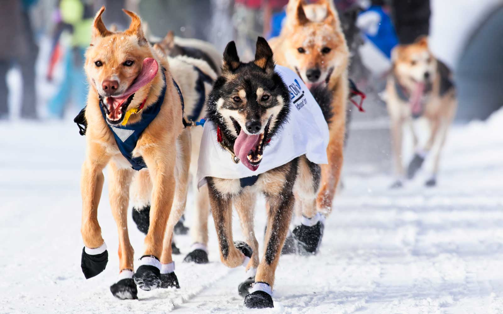 Close up of sled dogs in the chute at the 2013 Iditarod Ceremonial Start, Anchorage, Alaska.