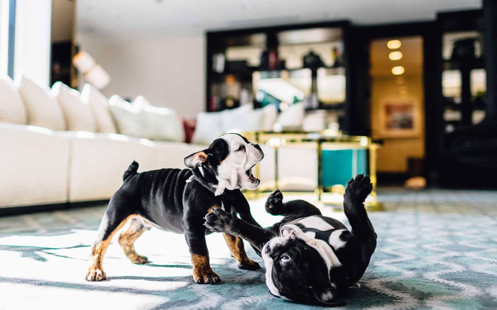 The London West Hollywood at Beverly Hills Bulldog Mascot Puppies