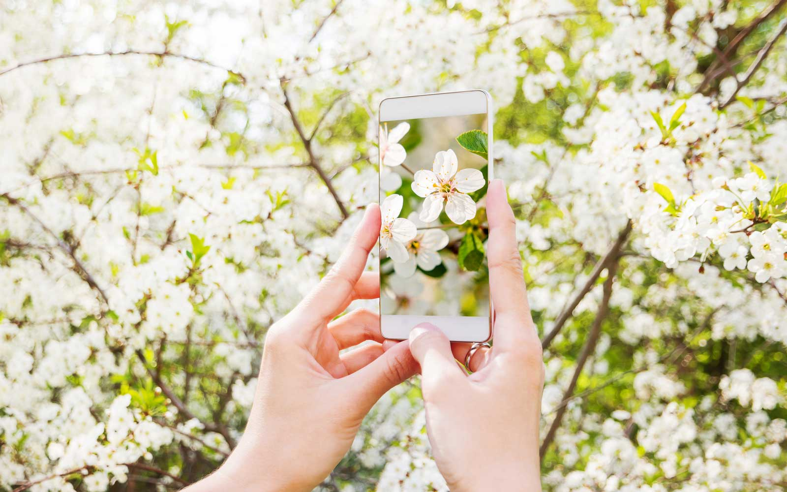 Woman takes photos of cherry blossom on a smartphone.
