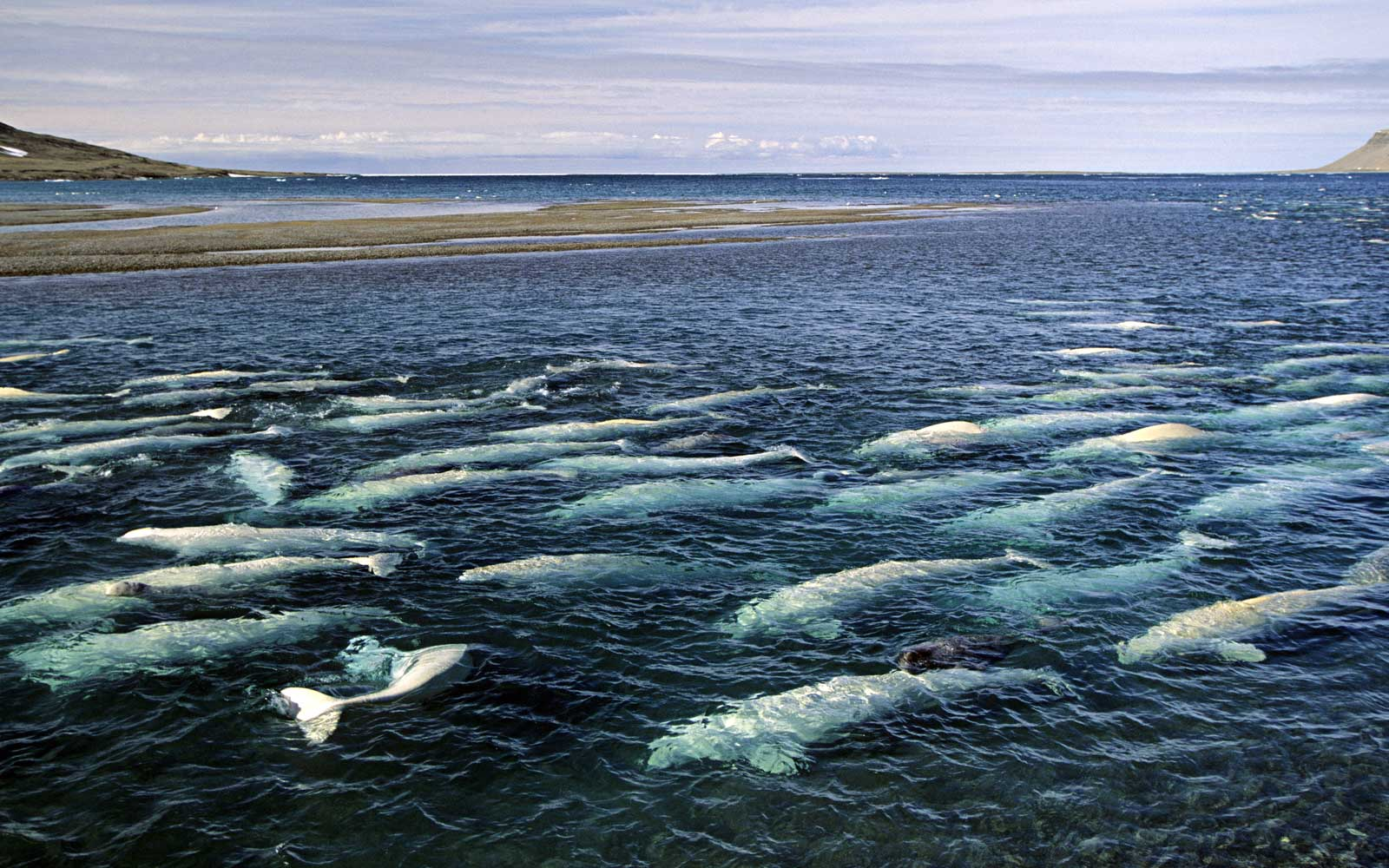 Beluga whale pod at the estuary of the Cunningham River in Nunavut, Canada