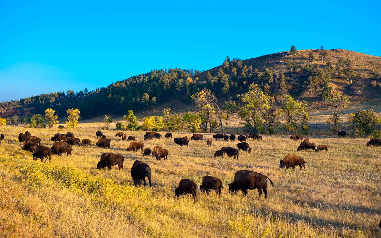 Herd of bison grazing in Custer National Park, South Dakota