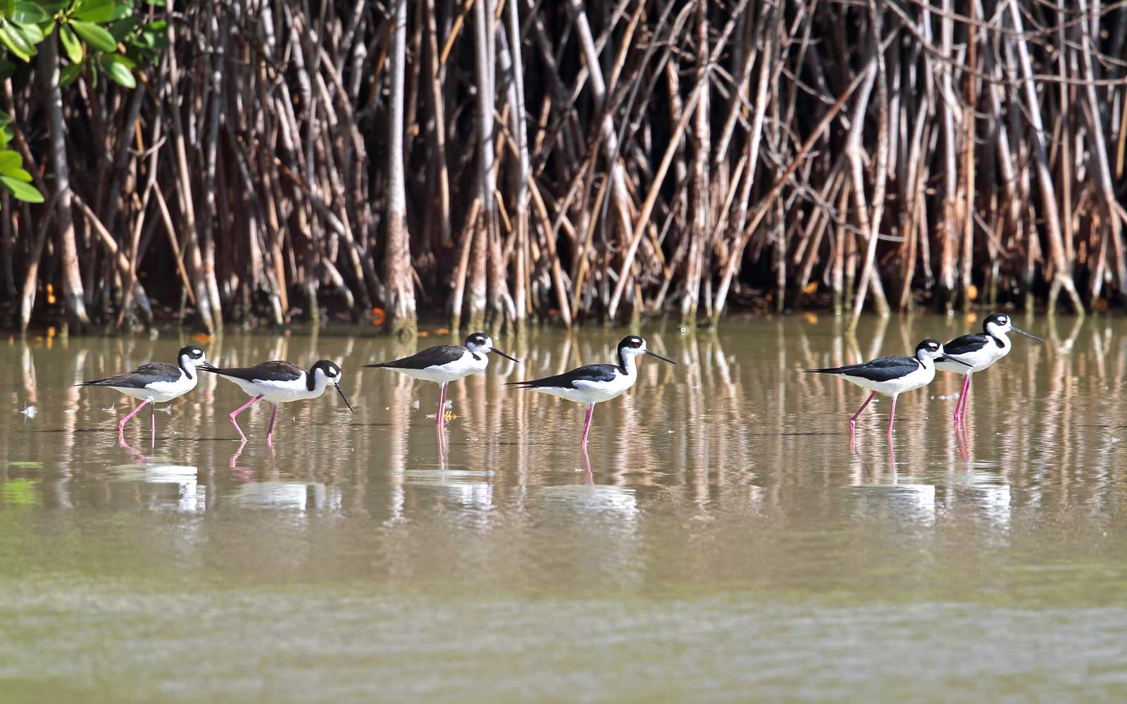 Birds in a march at Cabo Rojo Wildlife Reserve in Puerto Rico