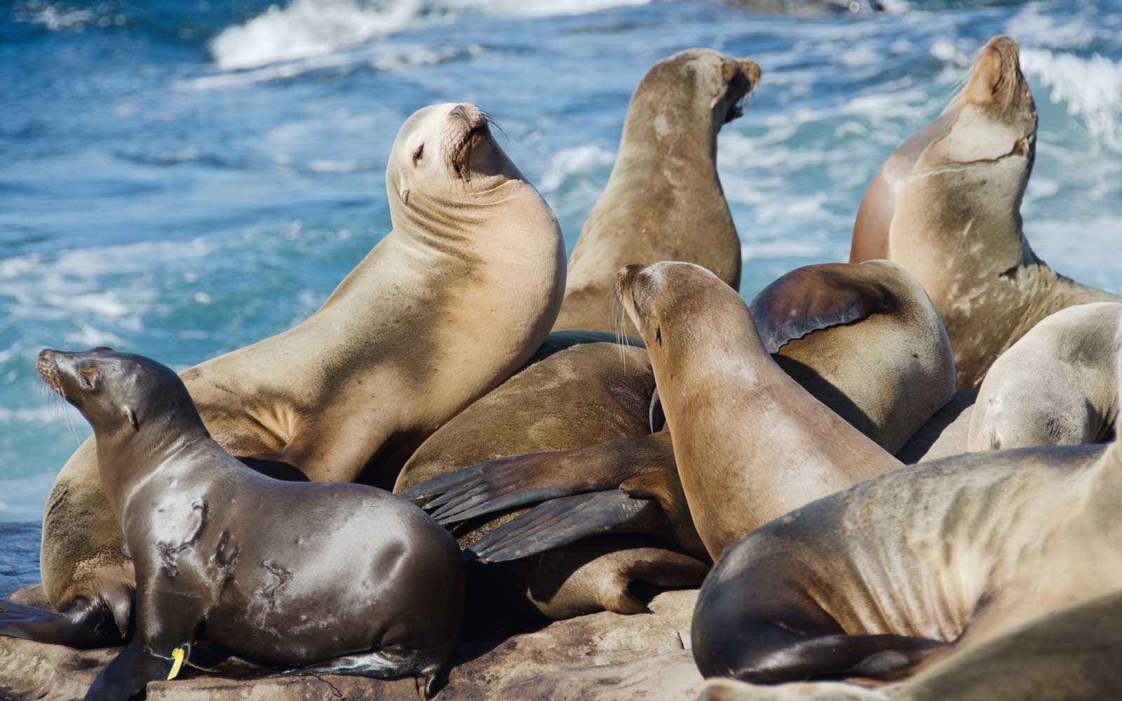 Sea Lions in California