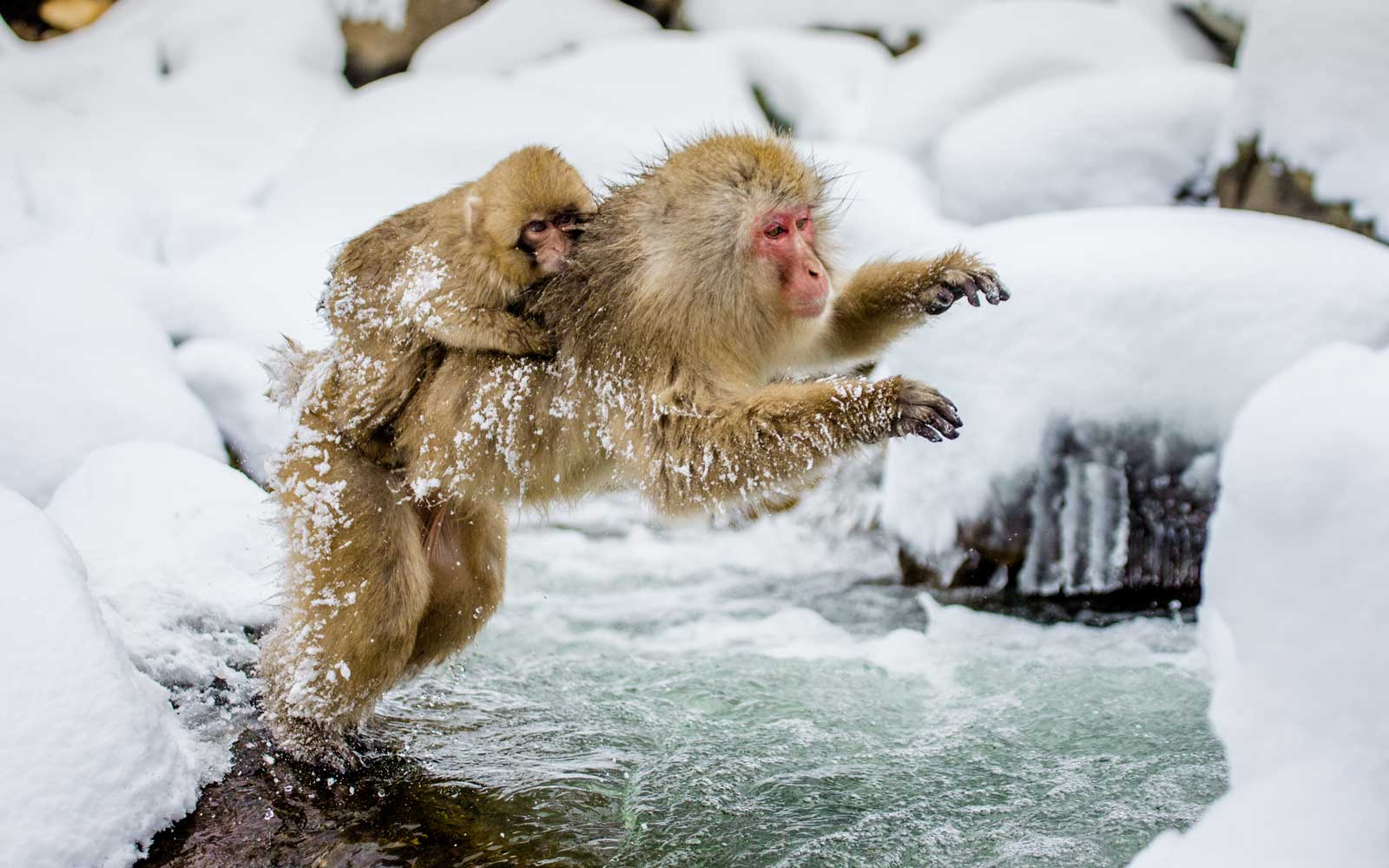 Japanese macaques jumping across a river in Jigokudani Monkey Park, in Japan