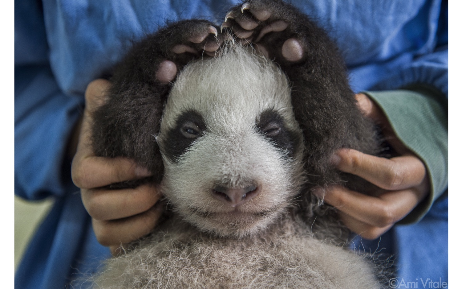baby panda from the book Panda Love by Ami Vitale