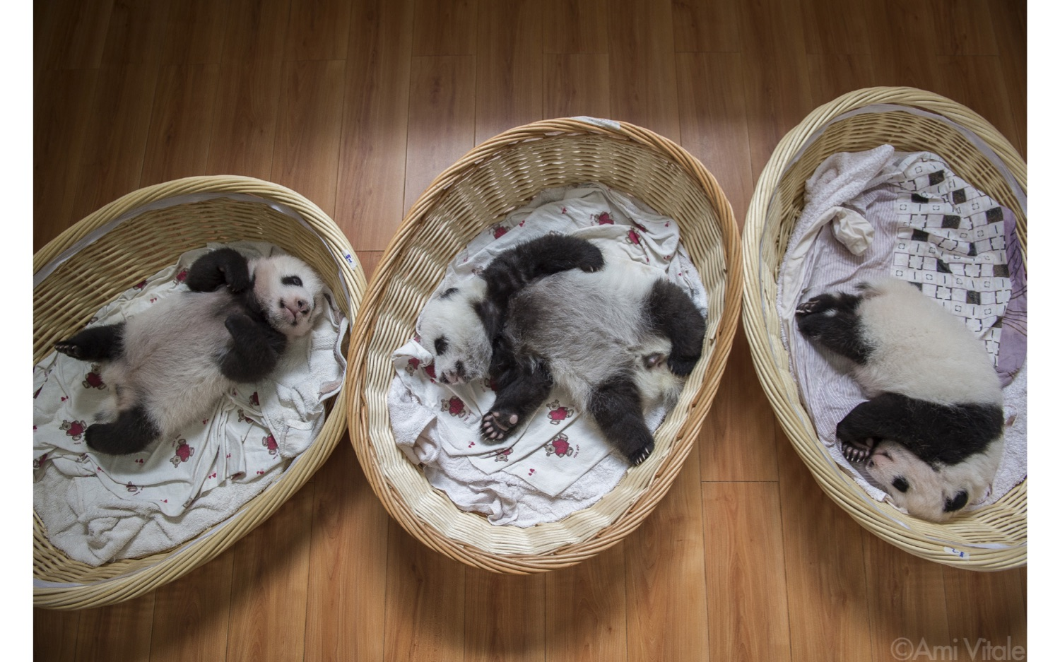 baby pandas in baskets from the book Panda Love by Ami Vitale