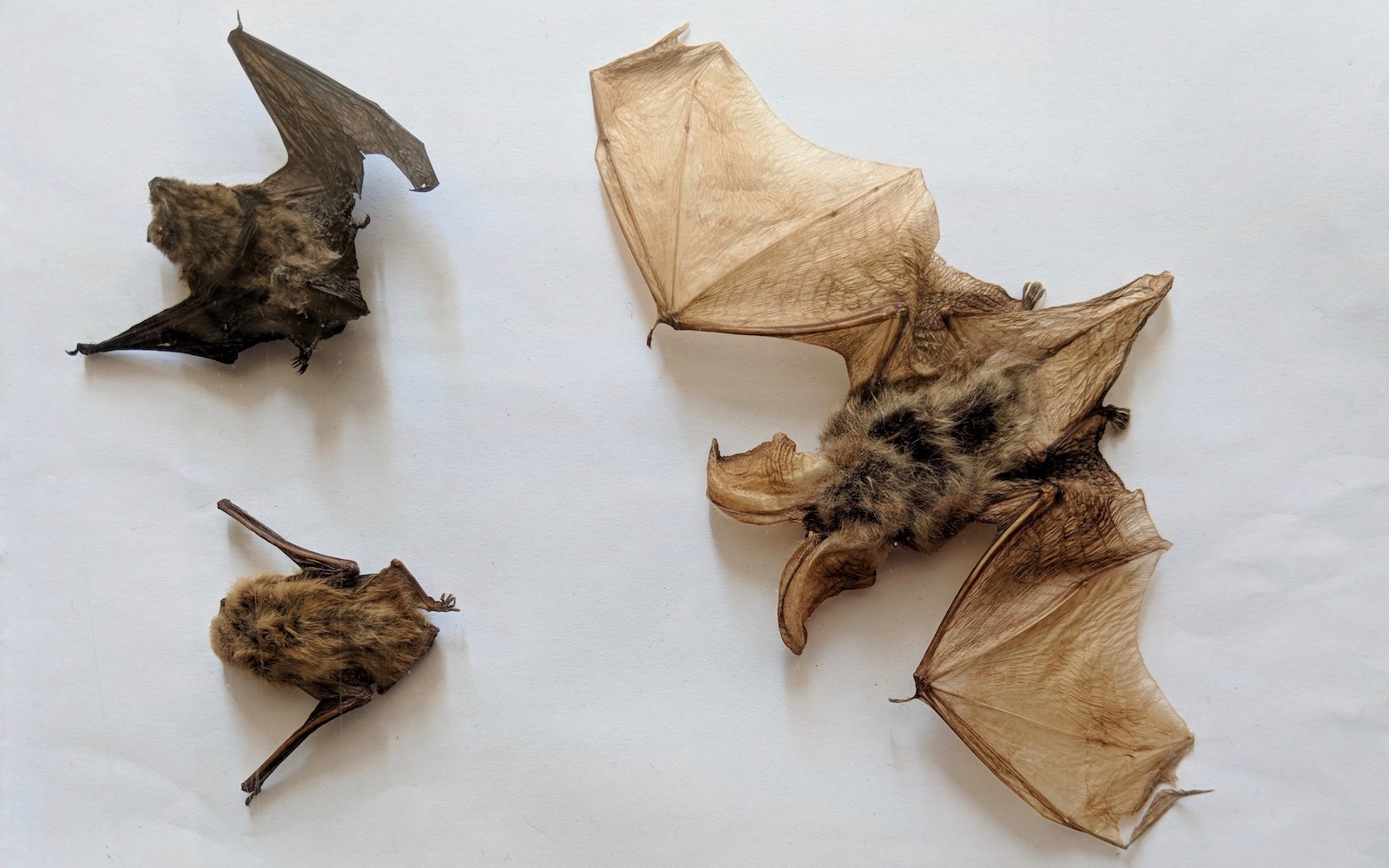 bats at the Mafra Palace Library in Portugal