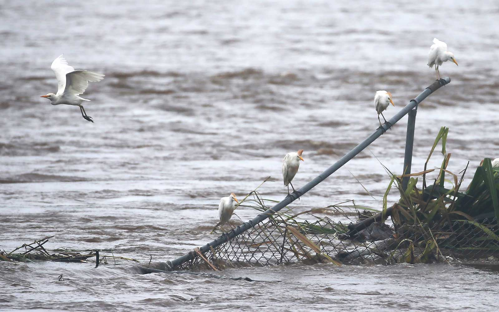 A bird flies as others perch above floodwaters from Hurricane Lane rainfall on the Big Island on August 23, 2018 in Hilo, Hawaii.