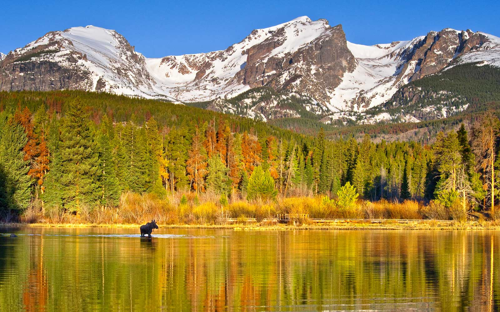 A moose in Sprague Lake in Rocky Mountain National Park