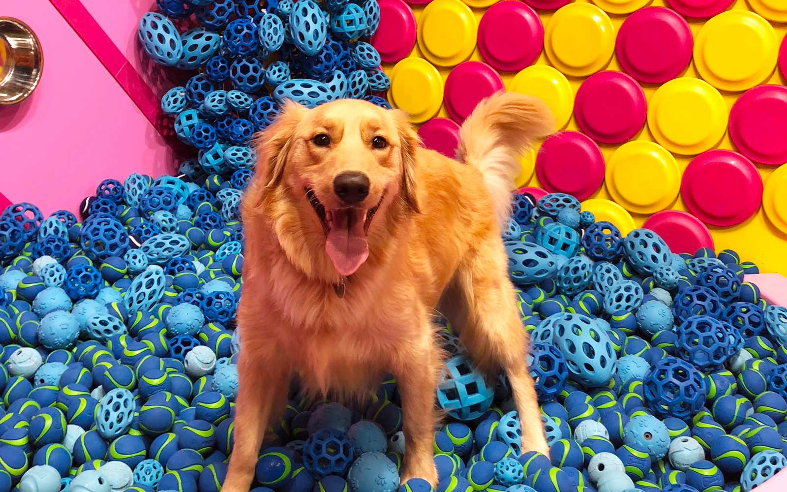 Golden retriever in a pile of tennis balls at Human's Best Friend event in New York