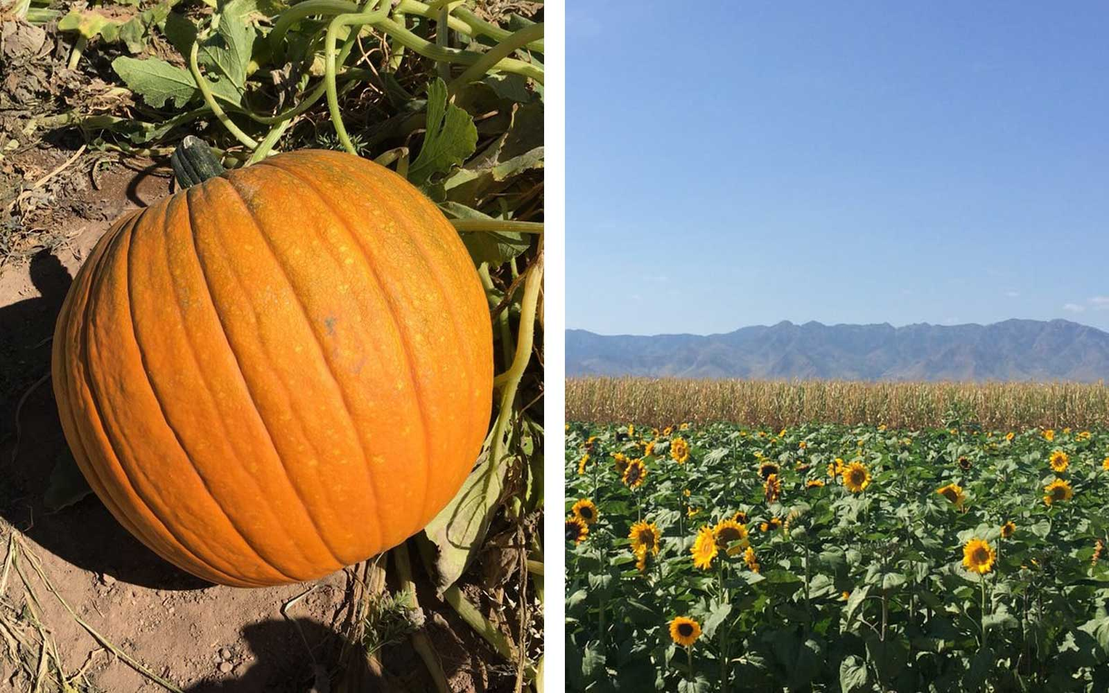 Apple Annie's Produce & Pumpkins, Willcox, AZ